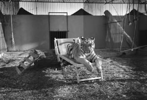 La tigre Angela volerà presto in Sudafrica, dove comunque non sarà messa in totale libertà, ma sarà ospitata in una struttura che si prende cura degli animali pericolosi.