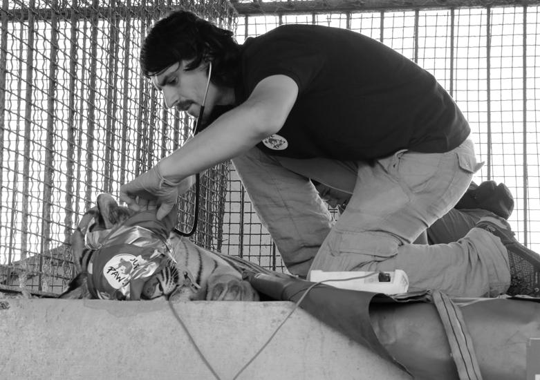 Il veterinario Dario D'Oriano, nominato custode giudiziario di Angela, s'è occupato del felino quotidianamente, per tutti mesi, fino al momento in cui l'animale è stato sedato e portato via dallo zoo.