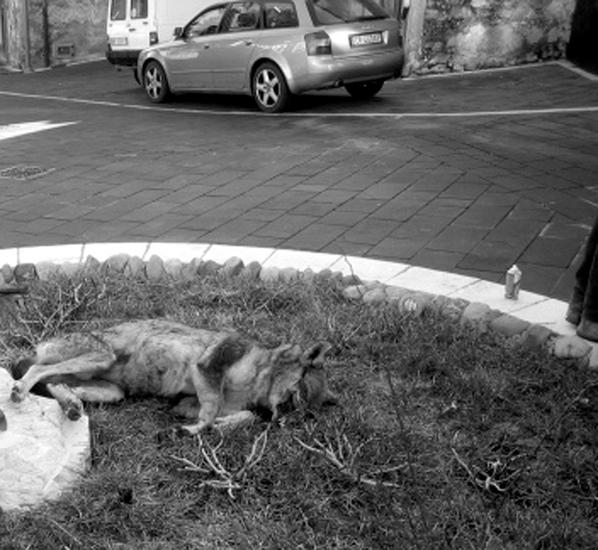 Perché tanta crudeltà?*** La carcassa di un lupo, ucciso a colpi di fucile, è stata poi abbandonata al centro della rotonda nel cuore della città.
