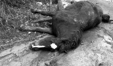 A Monte San Giacomo, centro agricolo del Diano, un cavallo è stato ucciso con un proiettile in fronte.