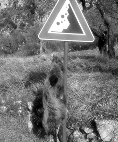 Il cinghiale trovato appeso a un cartello ha tutta l'aria di un segnale intimidatorio.