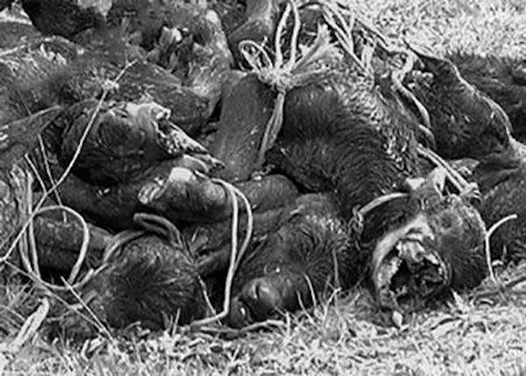 A pochi metri dall'ex discarica di Capaccio Capoluogo, in località Cannito, sono stati trovati una dozzina di bufalotti: erano legati tra loro per le zampe e ancorati a un albero.