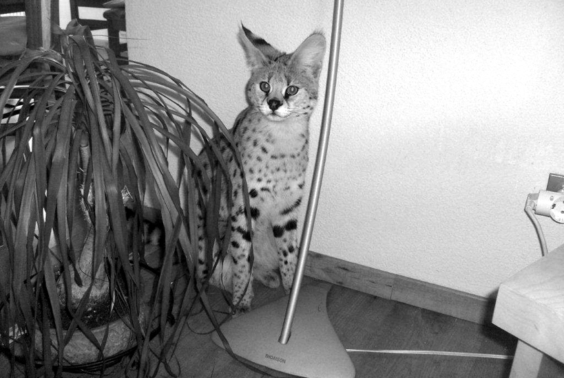 serval 002